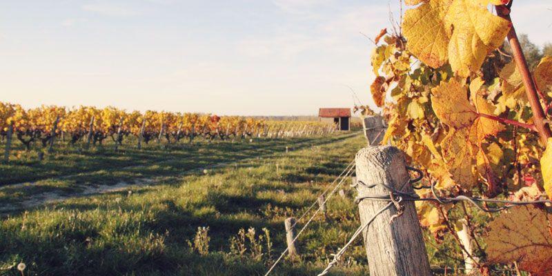 Les rangs de vigne