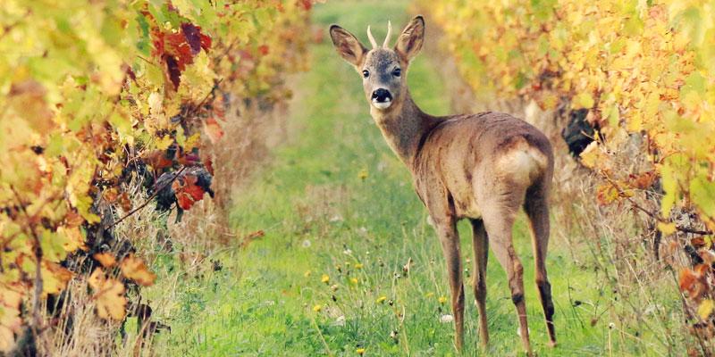 Invité surprise dans les vignes